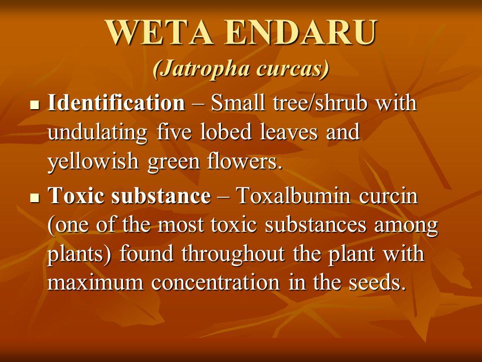 WETA ENDARU (Jatropha curcas)