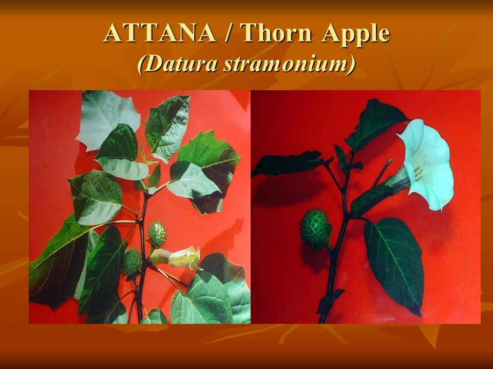 ATTANA / Thorn Apple (Datura stramonium)