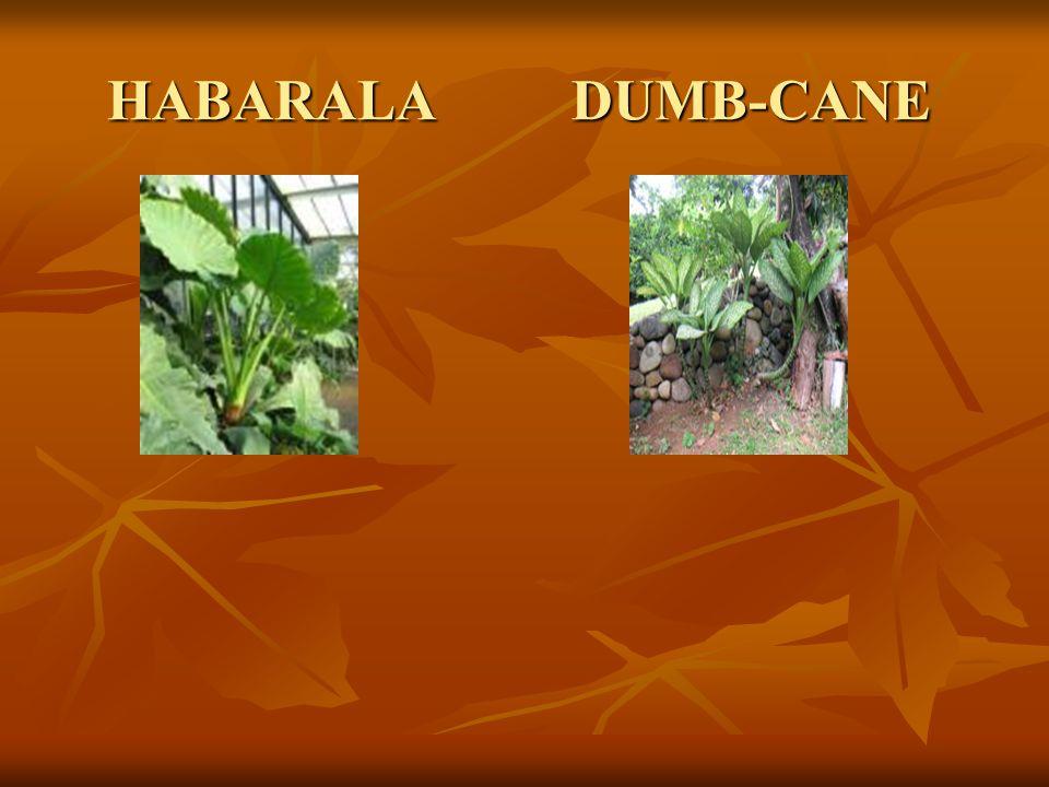 HABARALA DUMB-CANE