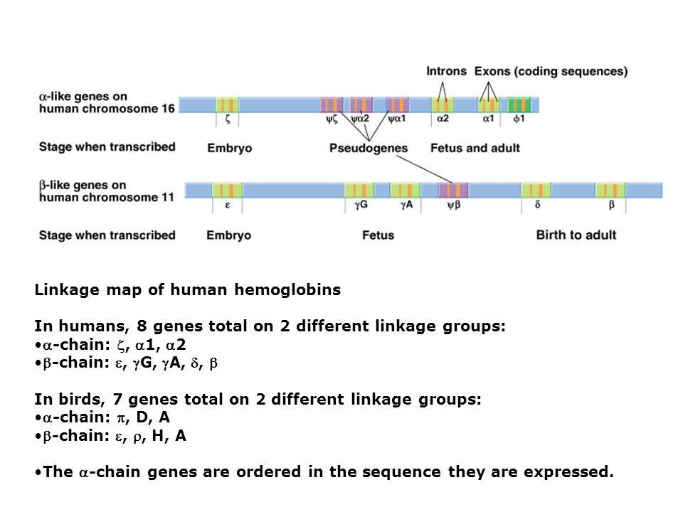 Linkage map of human hemoglobins