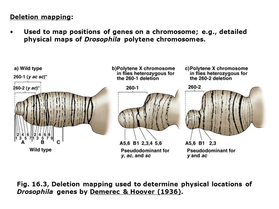 Deletion mapping: Used to map positions of genes on a chromosome; e.g., detailed physical maps of Drosophila polytene chromosomes.