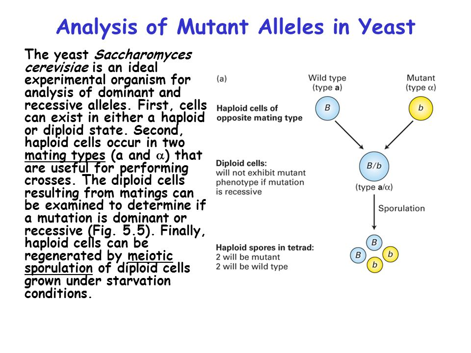 Analysis of Mutant Alleles in Yeast