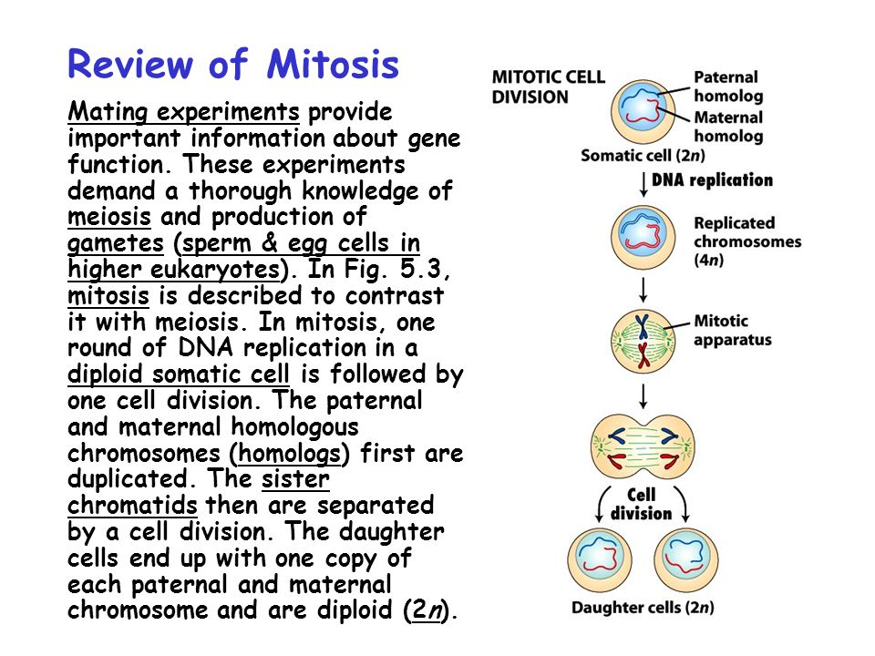 Review of Mitosis