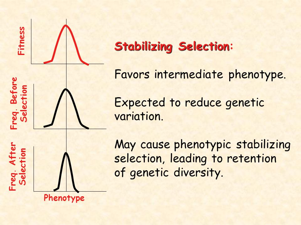 Stabilizing Selection: Favors intermediate phenotype.