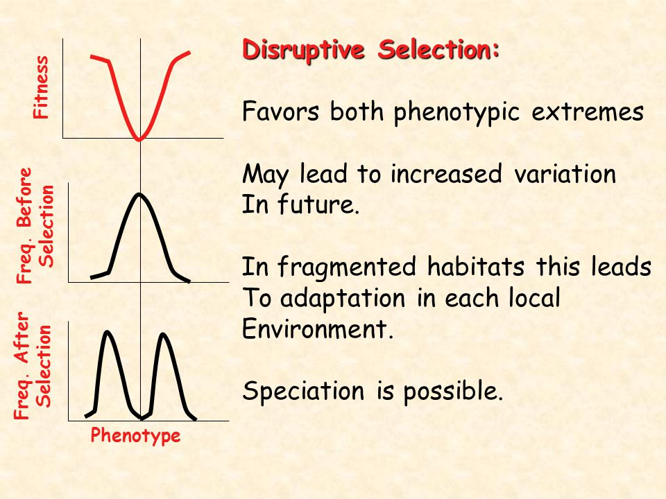 Disruptive Selection: Favors both phenotypic extremes