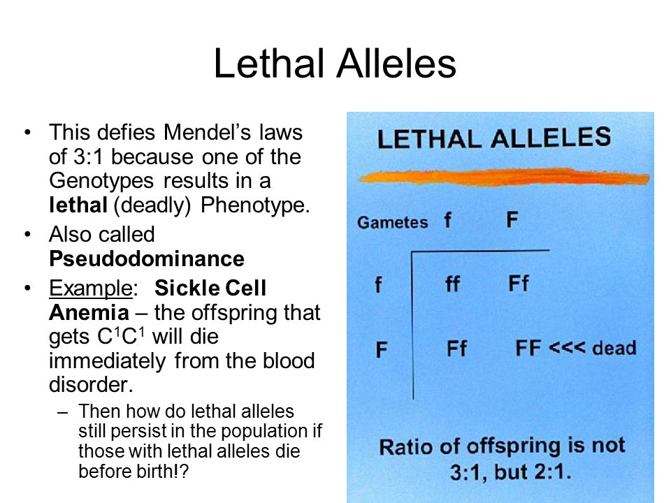 Lethal Alleles This defies Mendel's laws of 3:1 because one of the Genotypes results in a lethal (deadly) Phenotype.