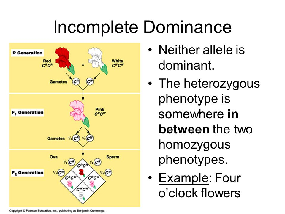 Incomplete Dominance Neither allele is dominant.