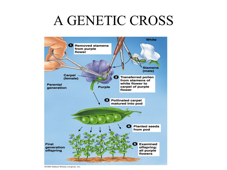 A GENETIC CROSS