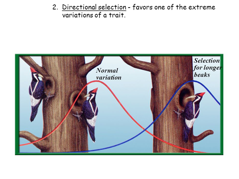 2. Directional selection - favors one of the extreme