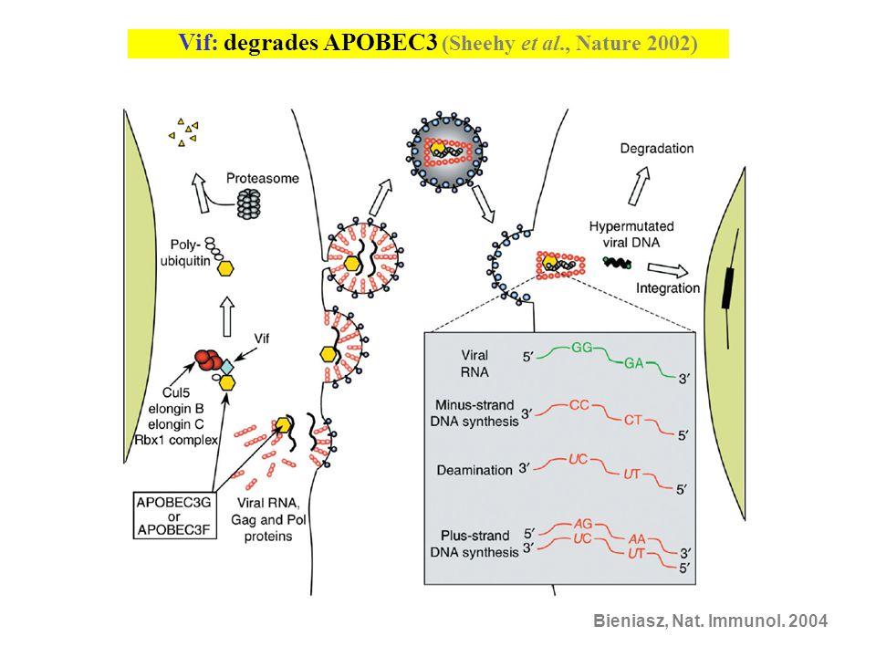 Vif: degrades APOBEC3 (Sheehy et al., Nature 2002)