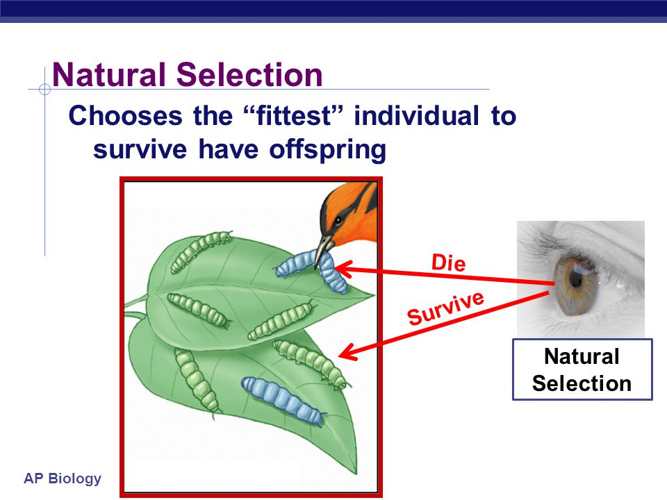 Natural Selection Chooses the fittest individual to survive have offspring.