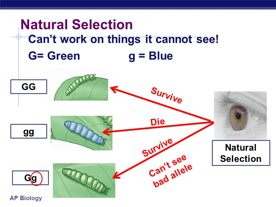 Natural Selection Can't work on things it cannot see! G= Green g = Blue GG. Survive. Die. gg. Survive.