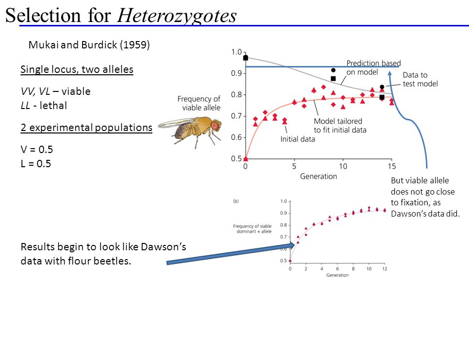 Selection for Heterozygotes