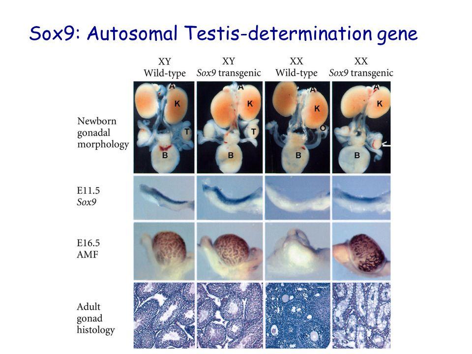 Sox9: Autosomal Testis-determination gene