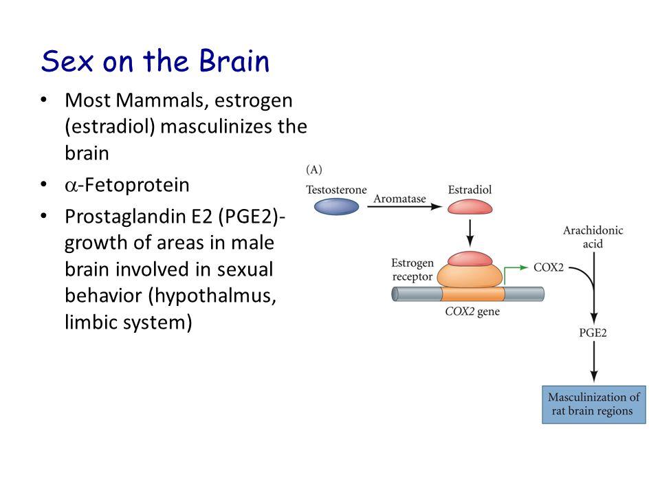 Sex on the Brain Most Mammals, estrogen (estradiol) masculinizes the brain. a-Fetoprotein.