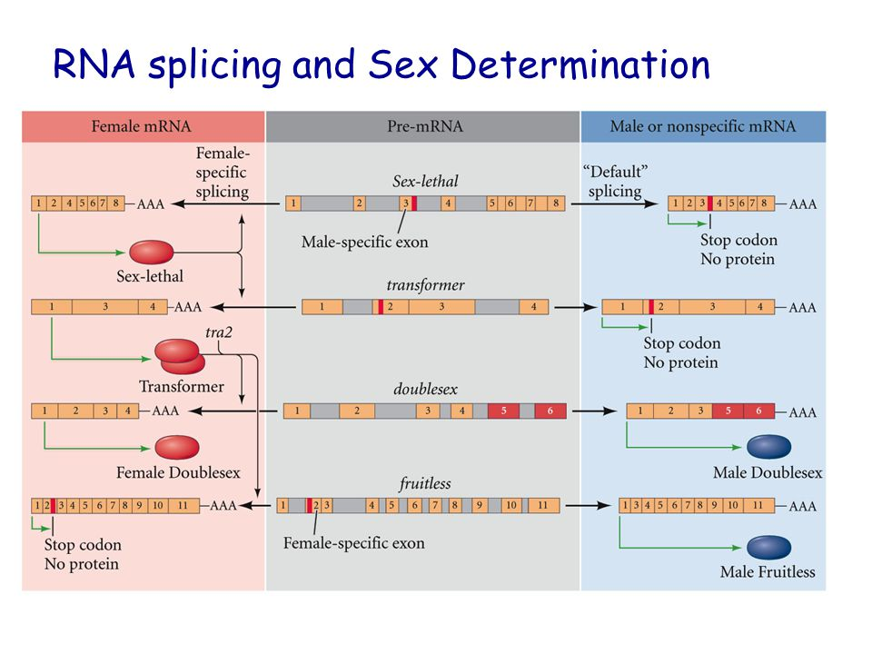 RNA splicing and Sex Determination