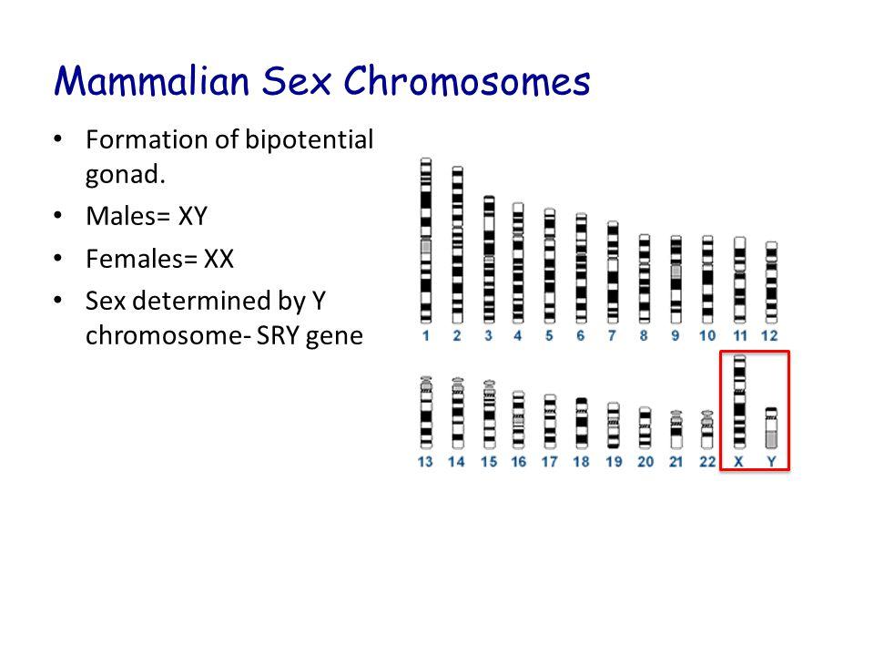 Mammalian Sex Chromosomes