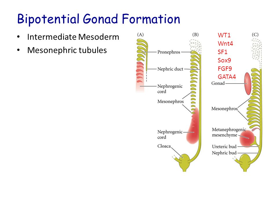 Bipotential Gonad Formation