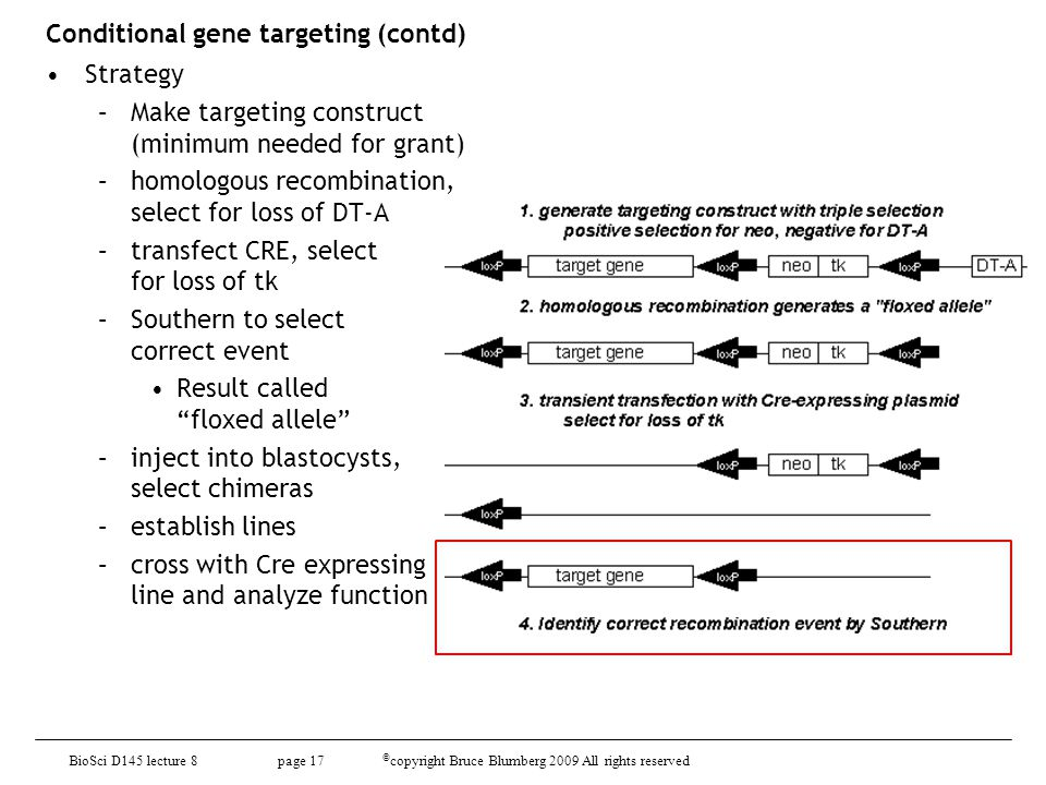 Conditional gene targeting (contd)