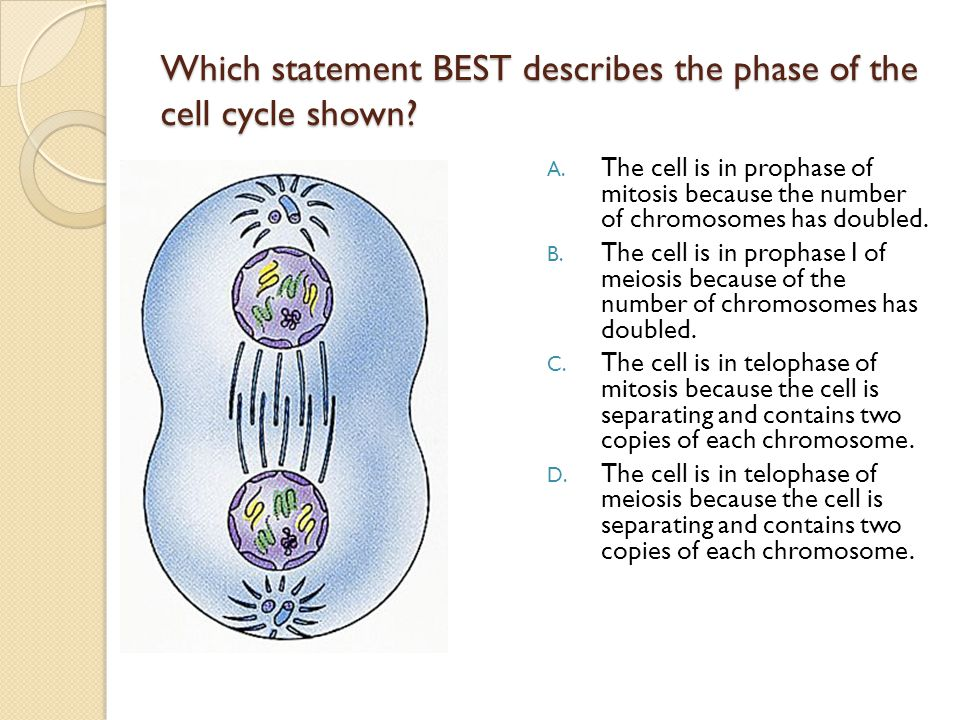 Which statement BEST describes the phase of the cell cycle shown