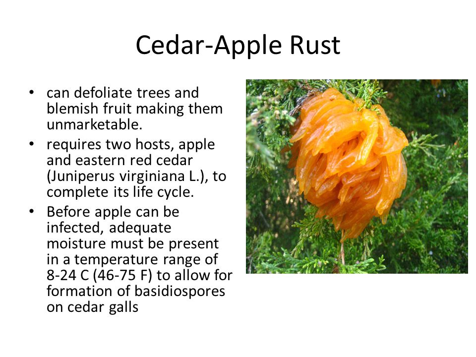 Cedar-Apple Rust can defoliate trees and blemish fruit making them unmarketable.