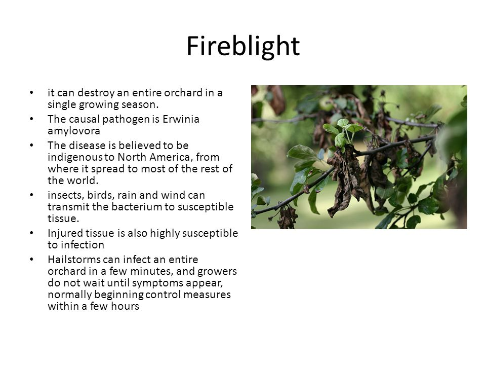 Fireblight it can destroy an entire orchard in a single growing season. The causal pathogen is Erwinia amylovora.