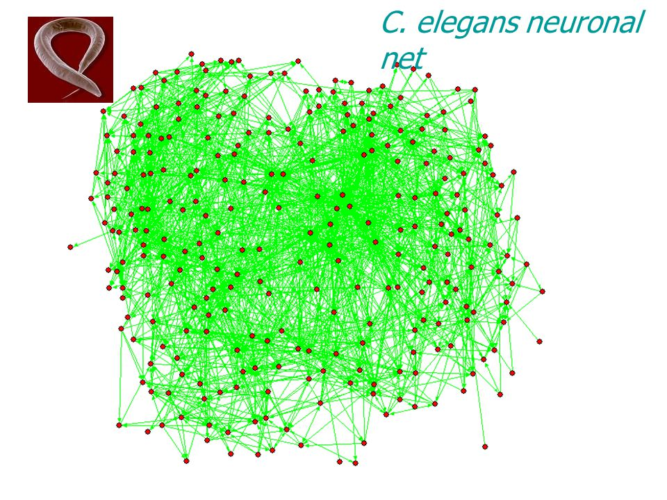 C. elegans neuronal net