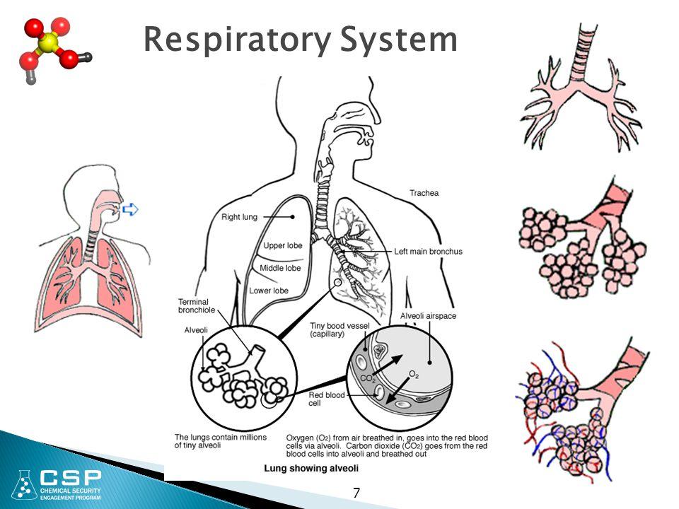 Respiratory System 7