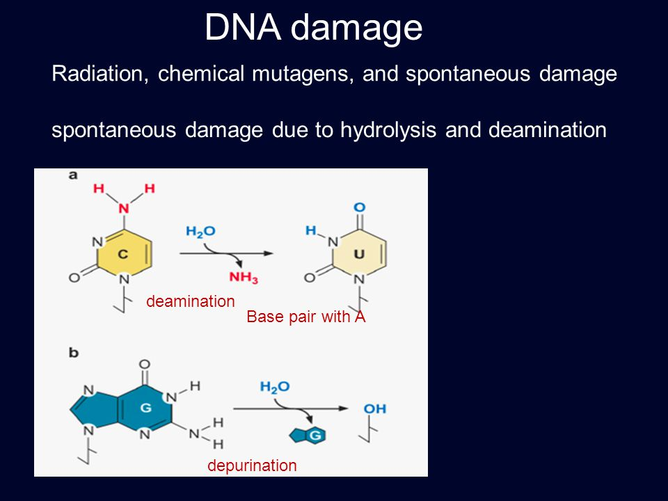 DNA damage Radiation, chemical mutagens, and spontaneous damage