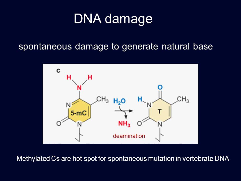 DNA damage spontaneous damage to generate natural base