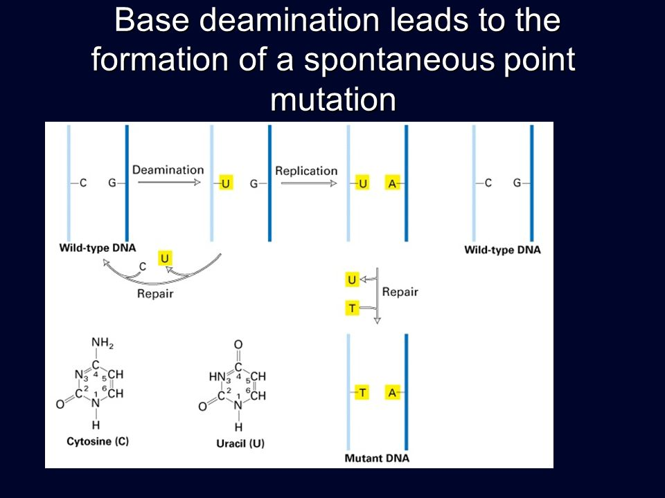 Base deamination leads to the formation of a spontaneous point mutation