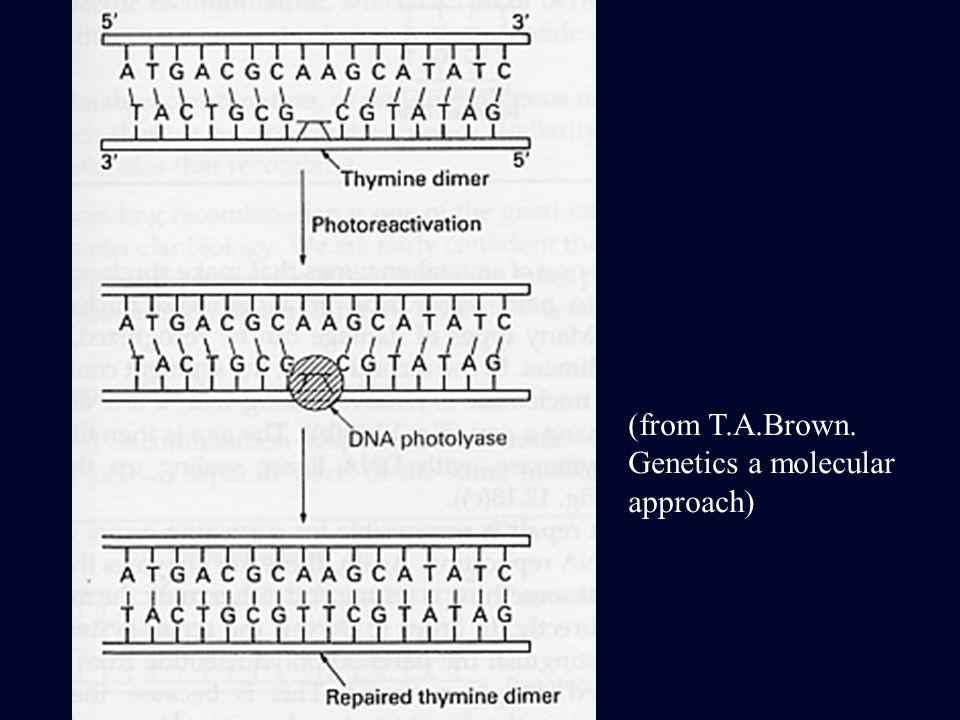 (from T.A.Brown. Genetics a molecular approach)