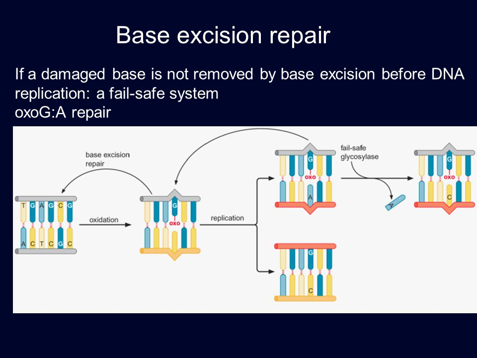 Base excision repair If a damaged base is not removed by base excision before DNA replication: a fail-safe system.