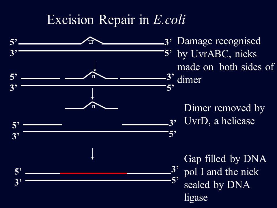 Excision Repair in E.coli
