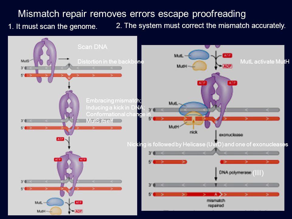 Mismatch repair removes errors escape proofreading