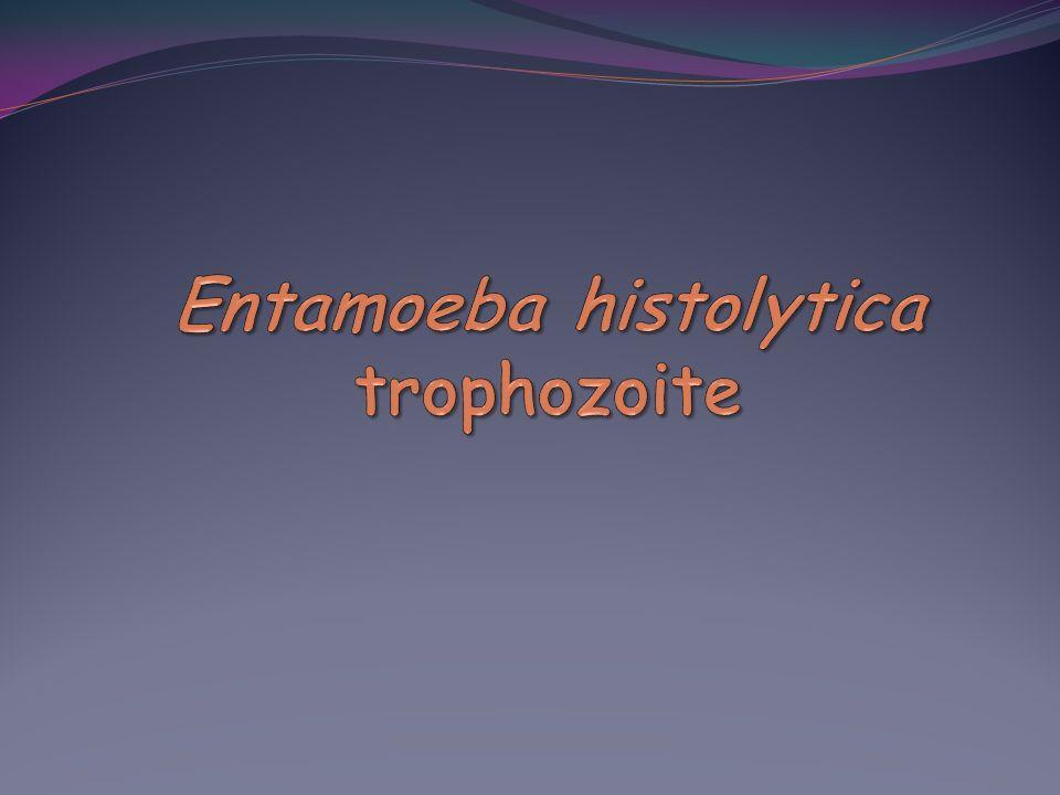 Entamoeba histolytica trophozoite