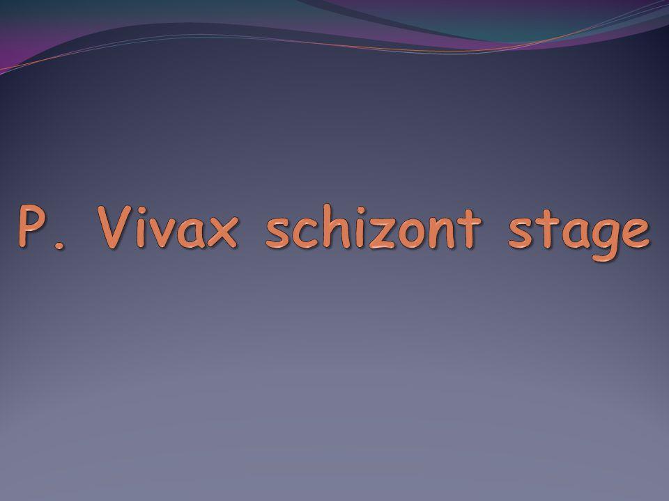 P. Vivax schizont stage