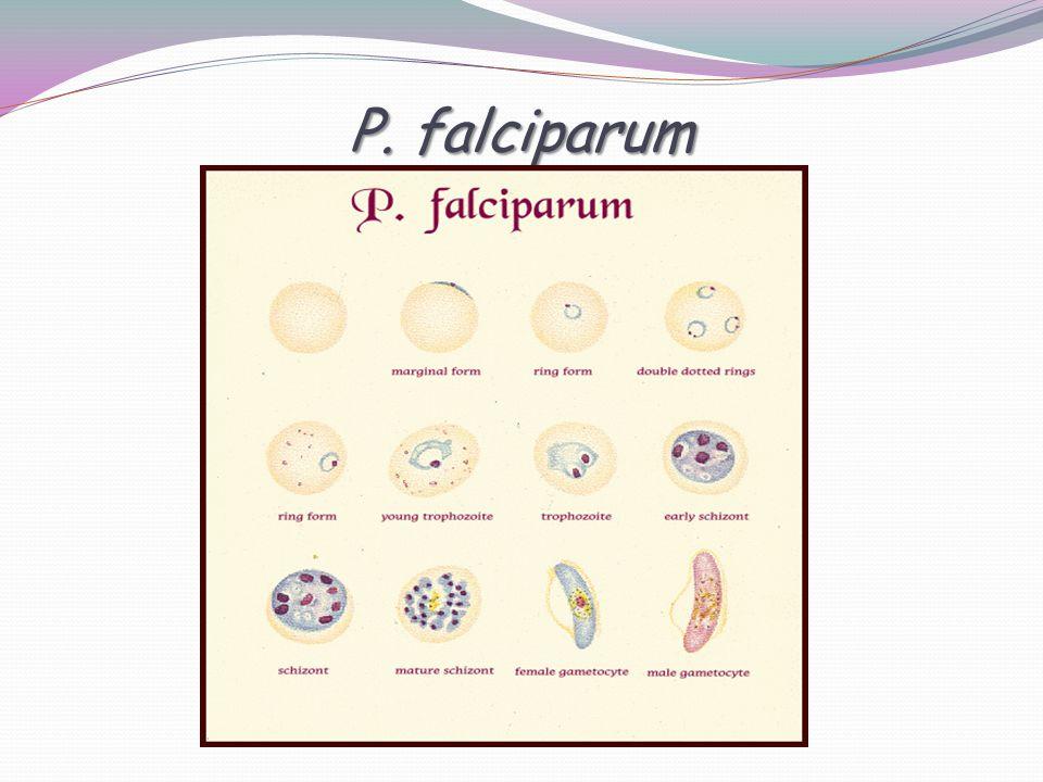 P. falciparum