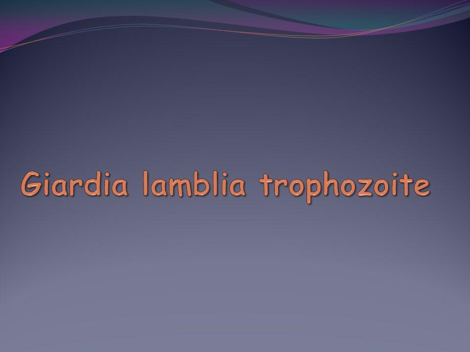 Giardia lamblia trophozoite