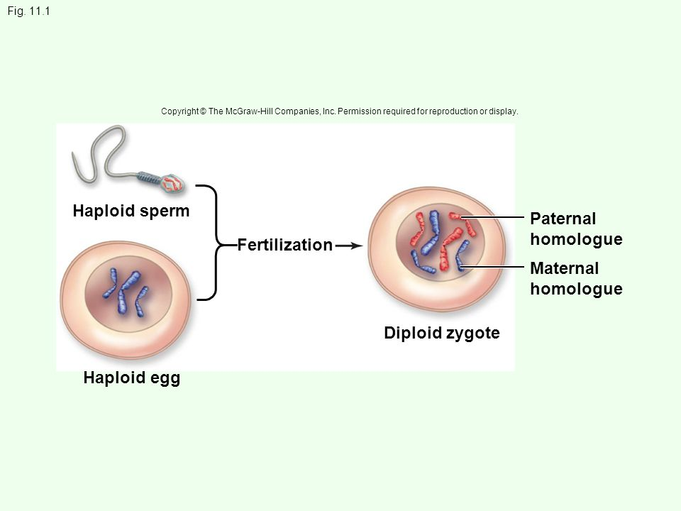 Haploid sperm Paternal homologue Fertilization Maternal homologue