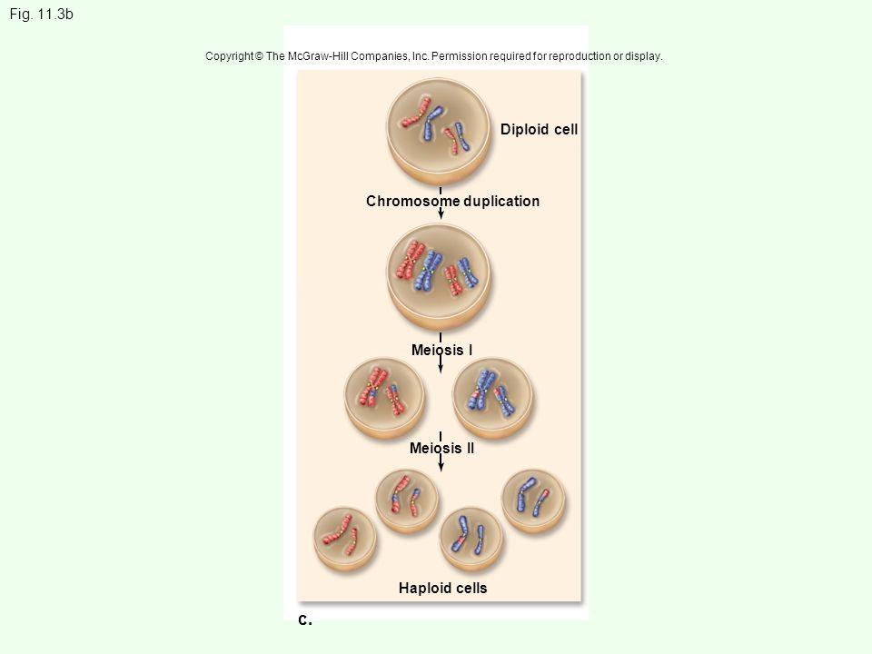 c. Fig. 11.3b Diploid cell Chromosome duplication Meiosis I Meiosis II
