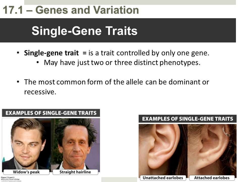 Single-Gene Traits Single-gene trait = is a trait controlled by only one gene. May have just two or three distinct phenotypes.