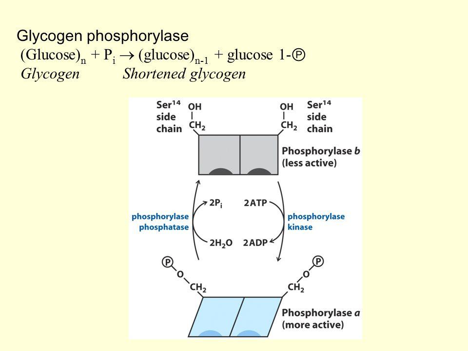 Glycogen phosphorylase (Glucose)n + Pi  (glucose)n-1 + glucose 1-Ⓟ Glycogen Shortened glycogen