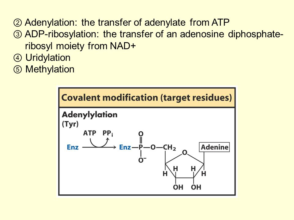 ② Adenylation: the transfer of adenylate from ATP