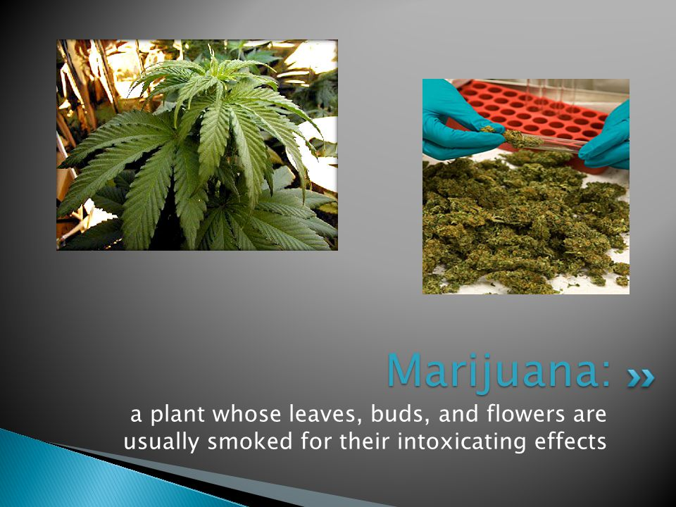 Marijuana: a plant whose leaves, buds, and flowers are usually smoked for their intoxicating effects.