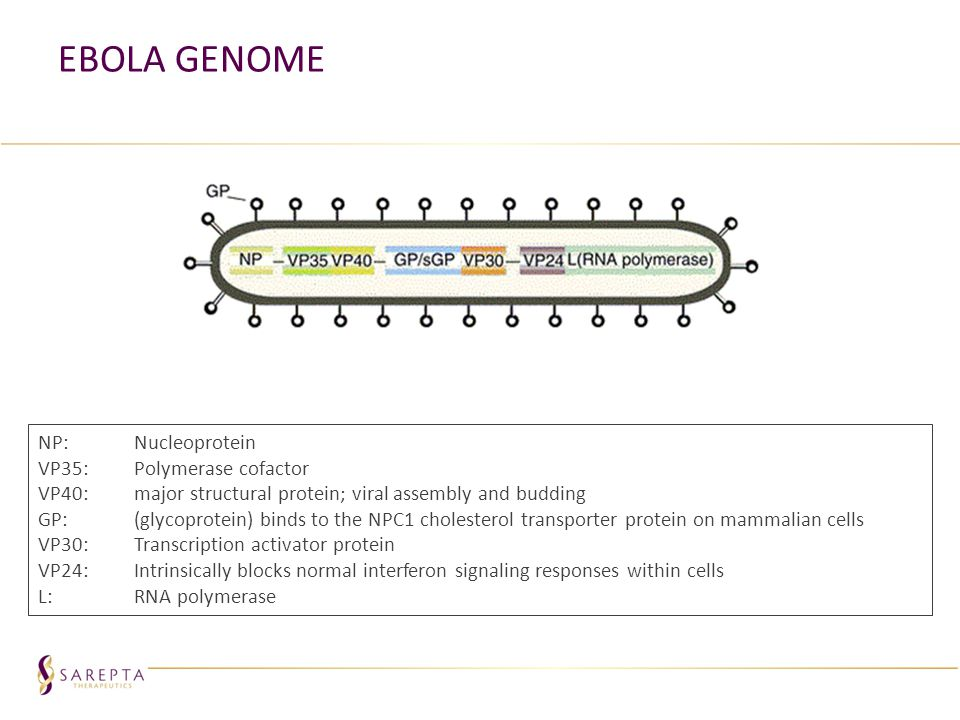 Ebola Genome NP: Nucleoprotein VP35: Polymerase cofactor