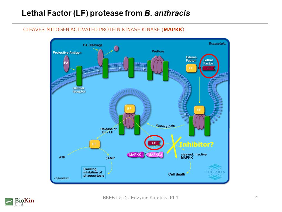 Lethal Factor (LF) protease from B. anthracis