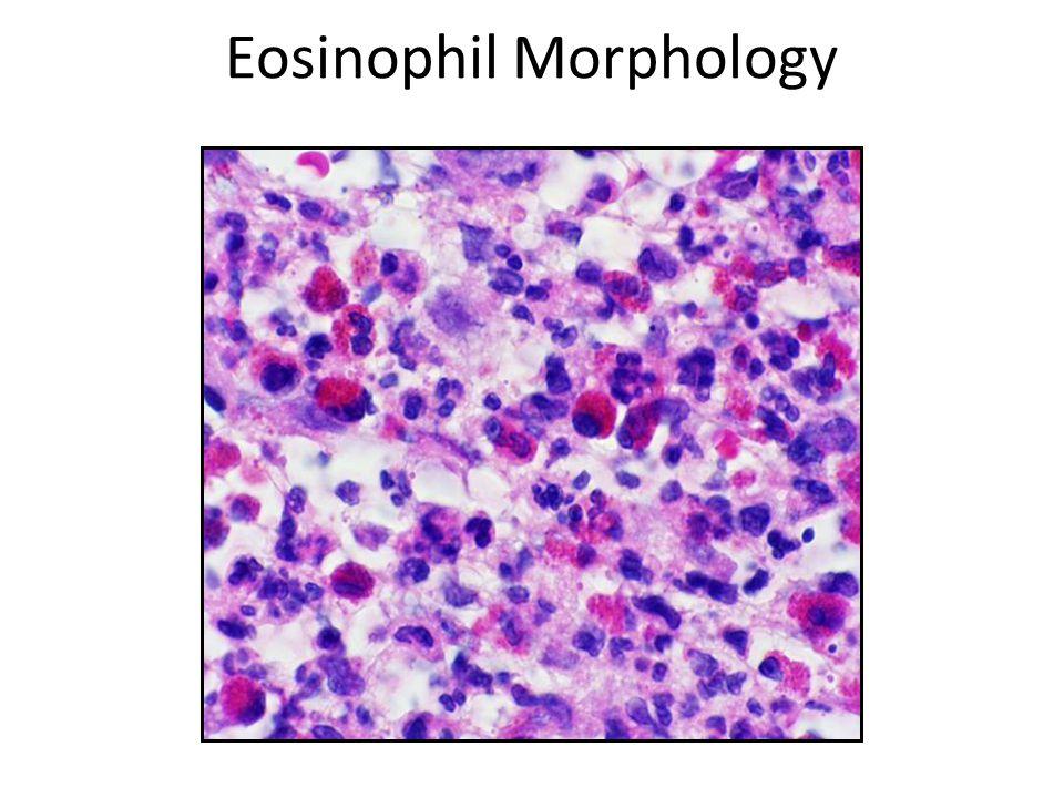 Eosinophil Morphology