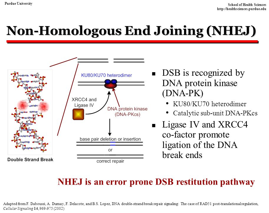 Non-Homologous End Joining (NHEJ)