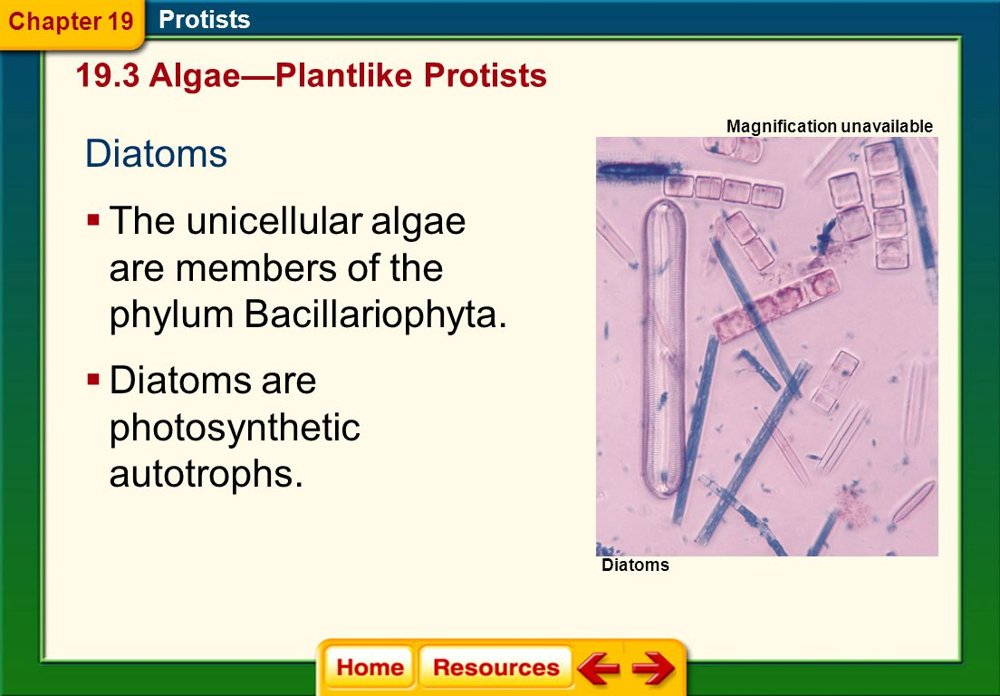 The unicellular algae are members of the phylum Bacillariophyta.